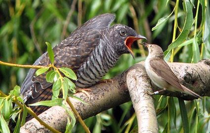 Cuckoo baby on the left, warbler on the right