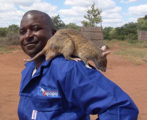 That is a big rat.