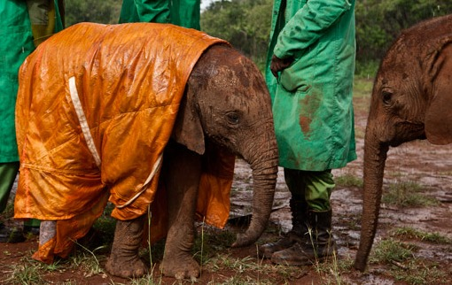 An elephant in a raincoat.