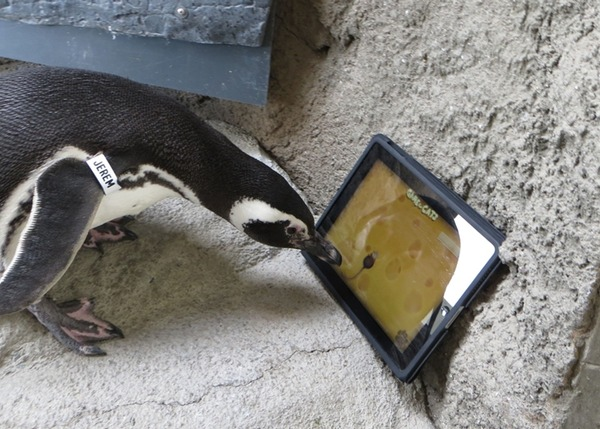 Penguin Playing iPad