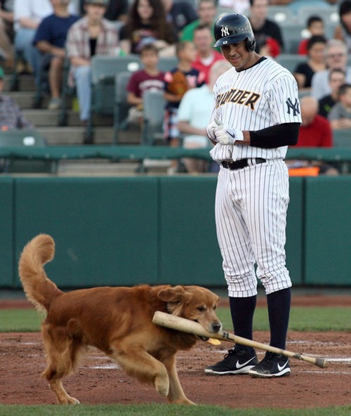 A photo showing Derby the bat dog; Amused A-Rod