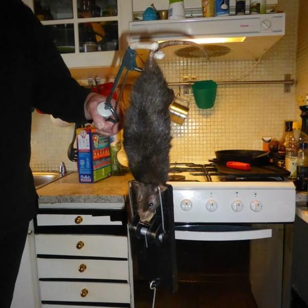 That is one giant goddamned rat.