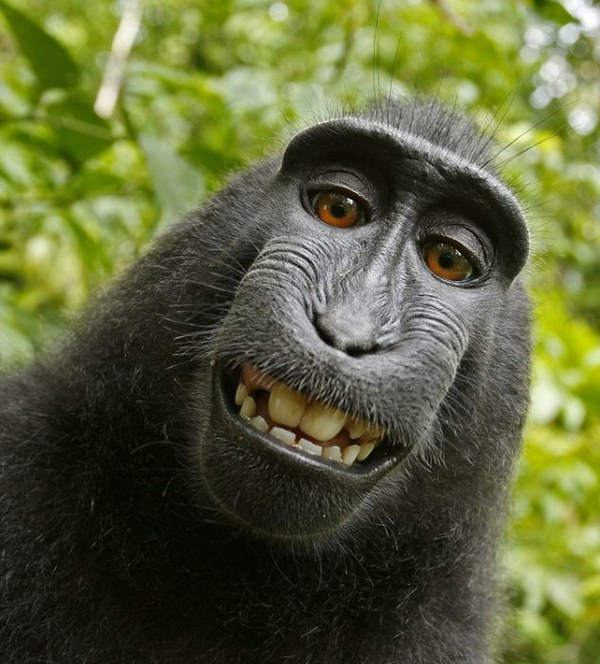 The Monkey Selfie in question.