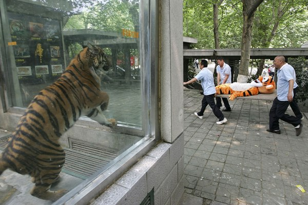 Man in Tiger suit, and a real tiger