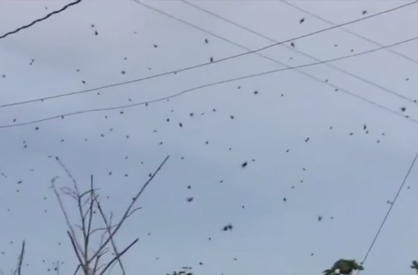 Spiders raining from the sky