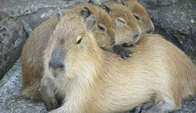 Picture of a capybara