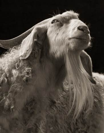 A portrait of Sydney the goat
