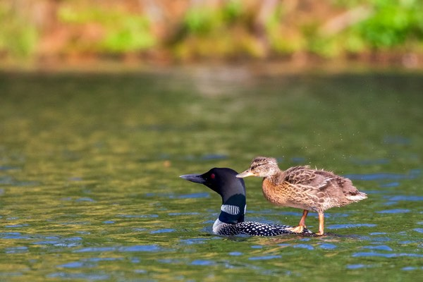 A Mallard duckling rides on a Loon's back