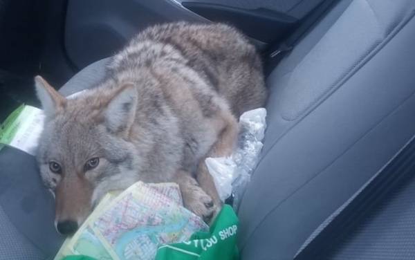 A coyote, which looks very much not like a German shepard or a husky, in the back of Boroditsky's car