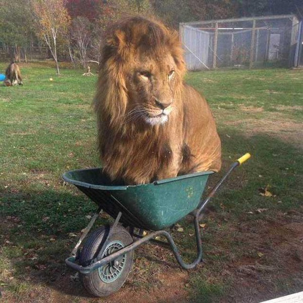 An adult male lion, sitting in a wheelbarrow